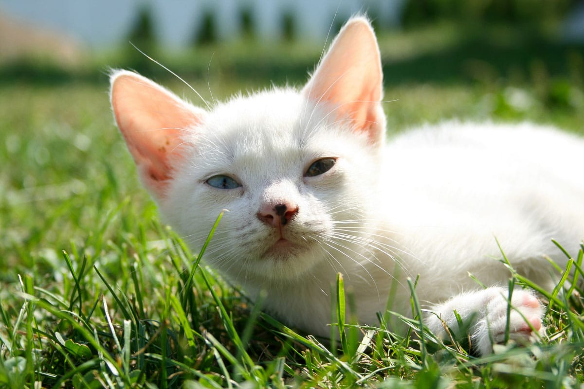 white cat with different eye colours