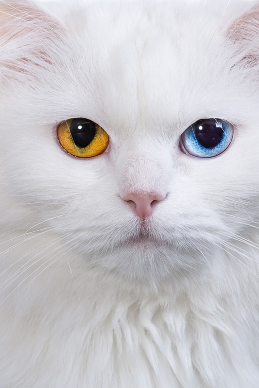 white cat with one blue and one amber eye