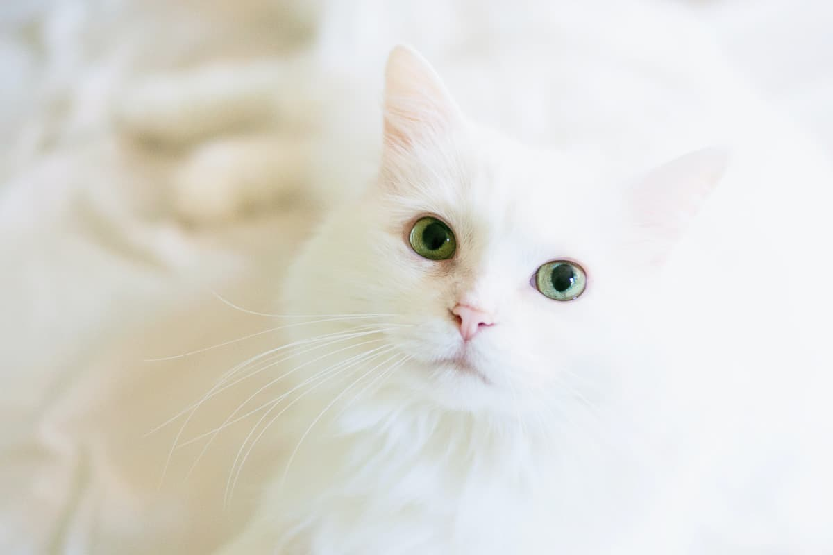 white kitten with green eyes