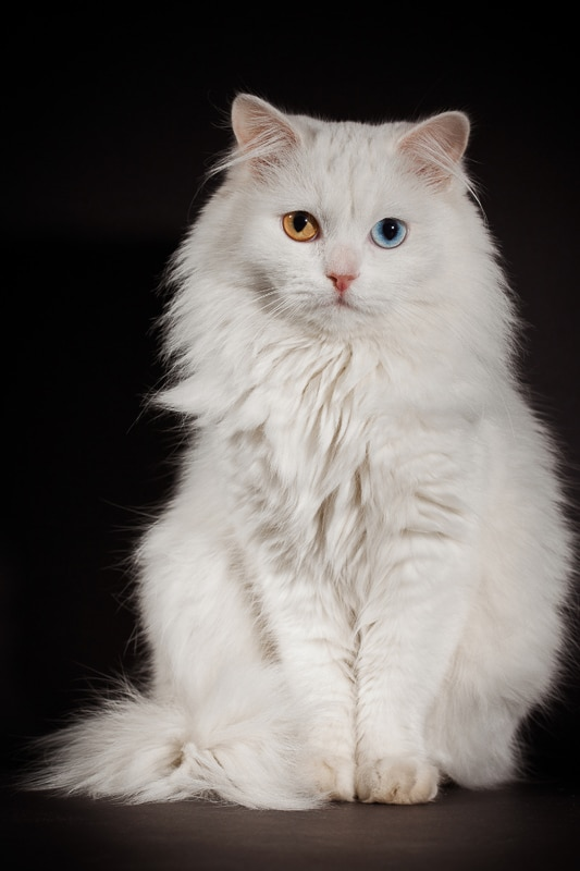 white persian cat with different colour eyes