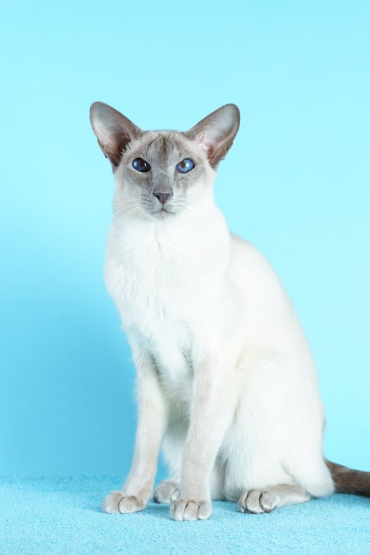 white siamese cat