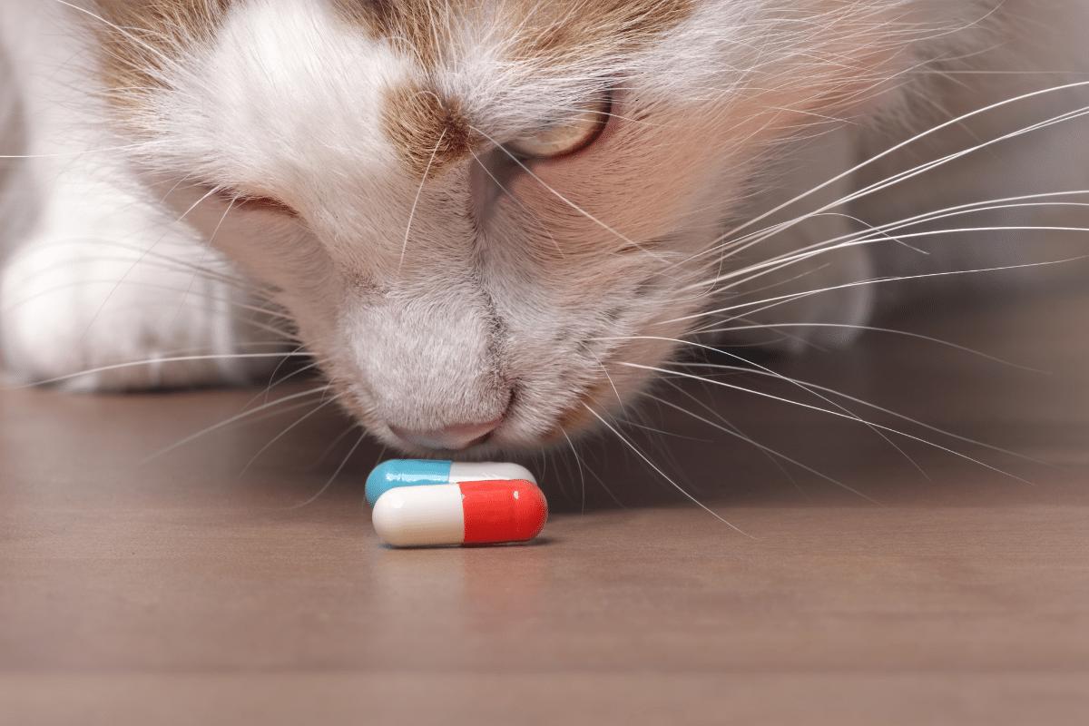 cat sniffs pill