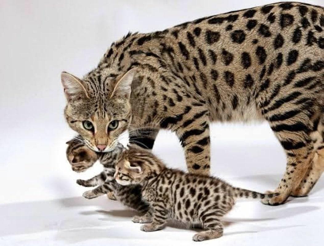 ashera expensive cat breed