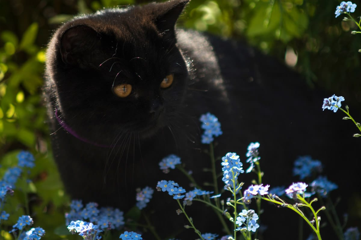 black british short hair cat with blue flowers