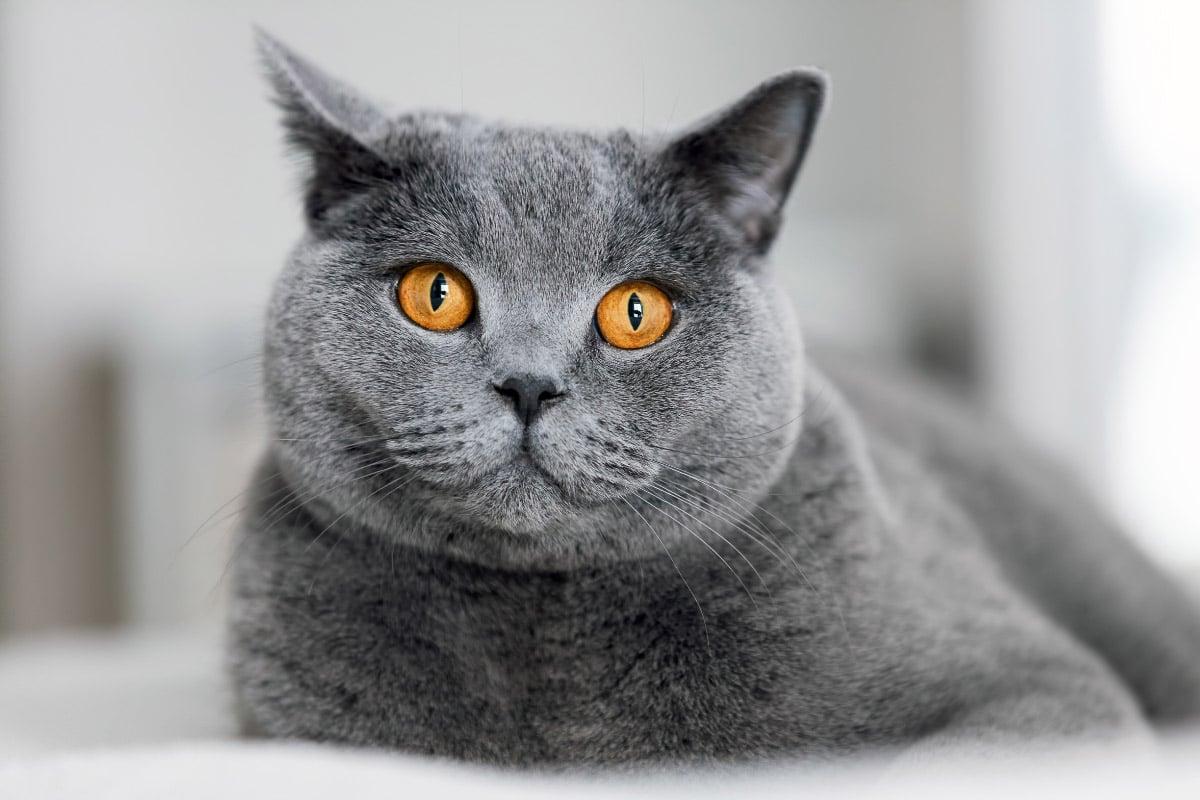 british shorthair blue face