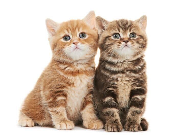 Two British Shorthair kitten cat isolated