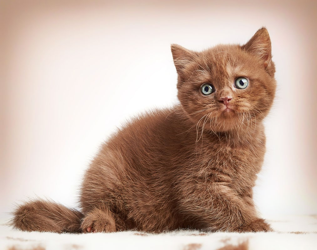 brown british short hair kitten