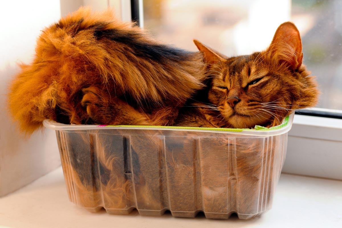 dark ginger cat asleep in plastic container
