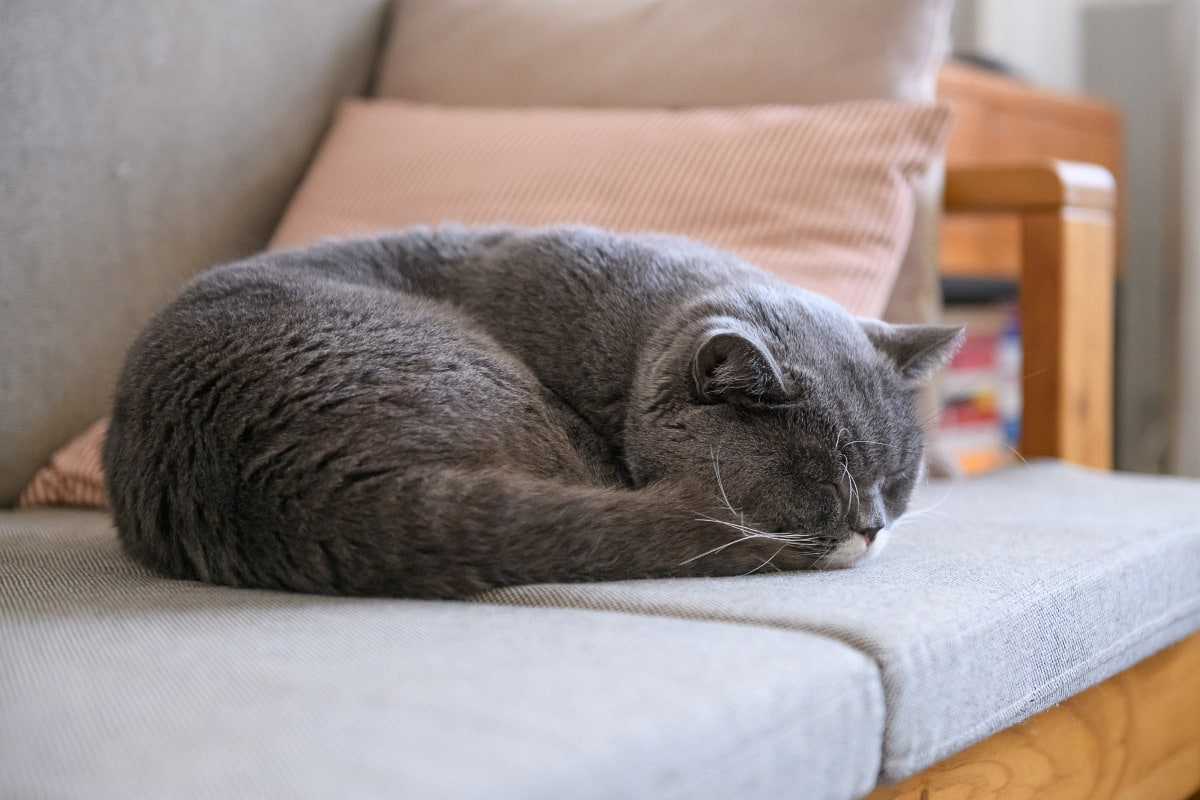 grey cat curled up as loaf asleep on sofa
