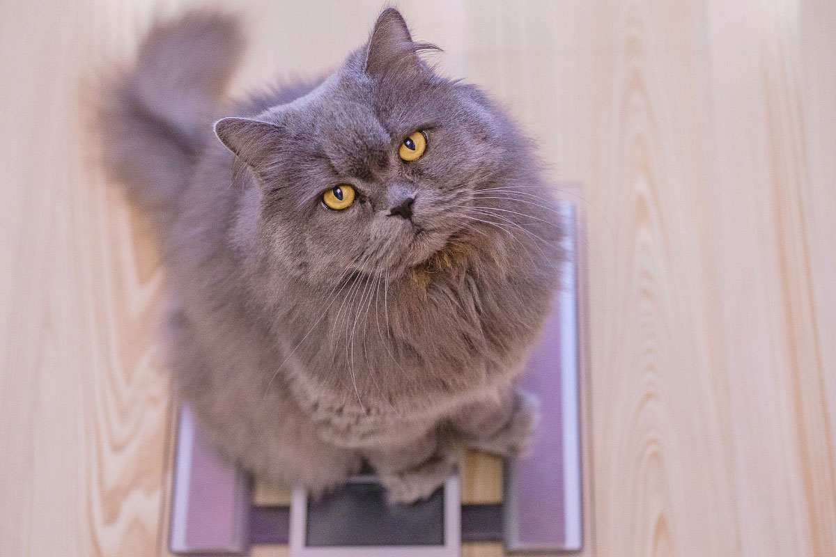 grey cat on scales