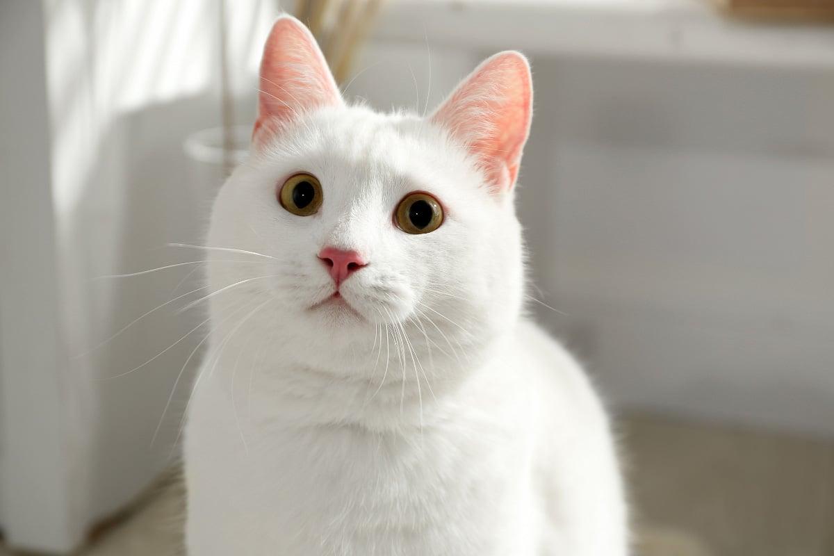 khao manee cat breed