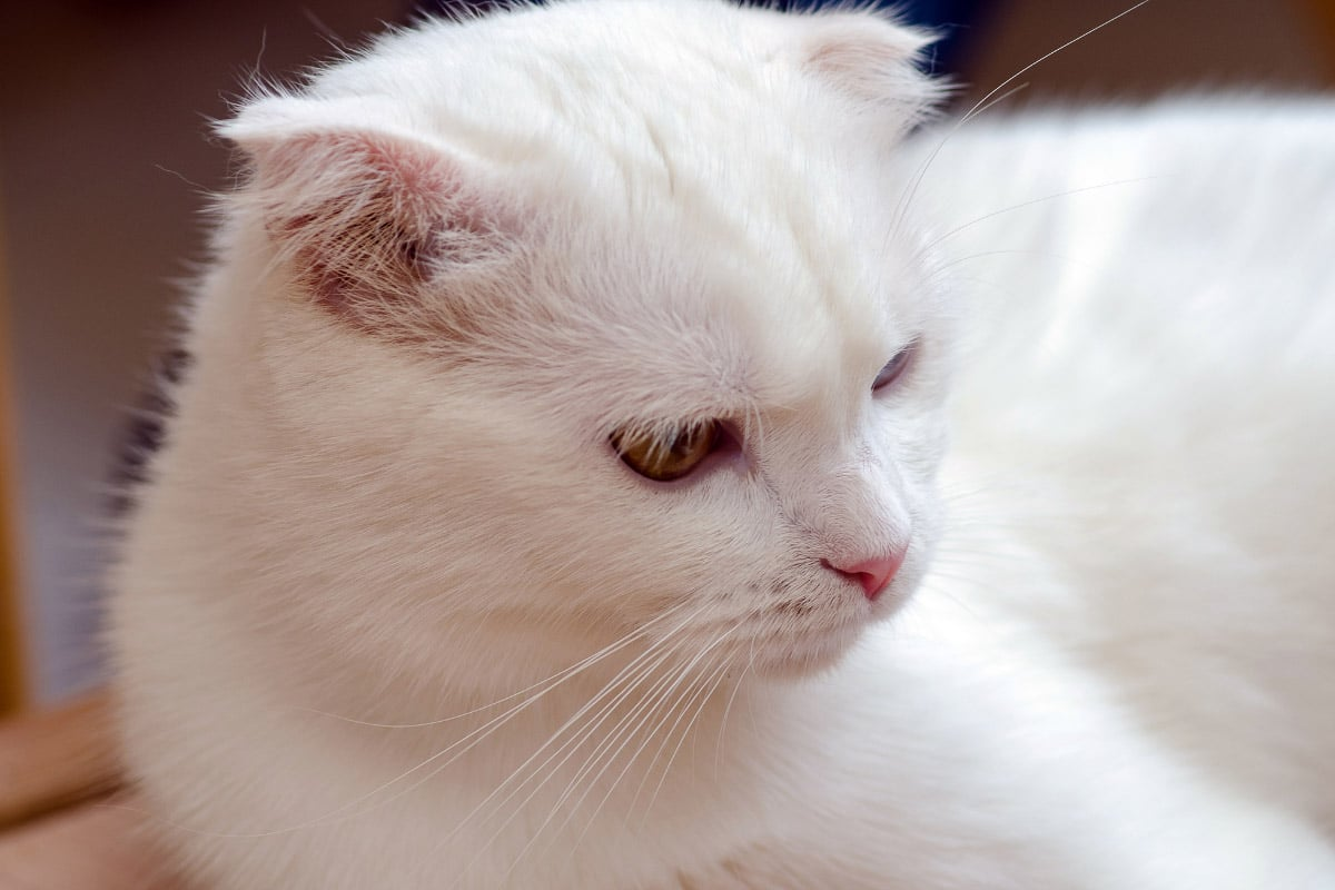 khao manee expensive cat breed