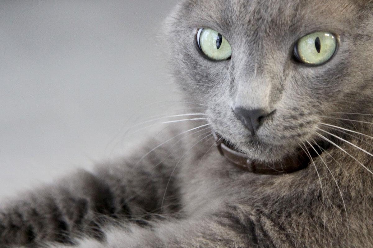 korat expensive cat breed