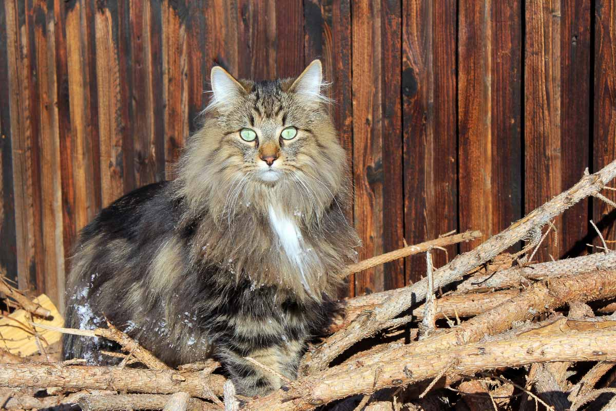 norwegian forest cat tabby green eyes in barn