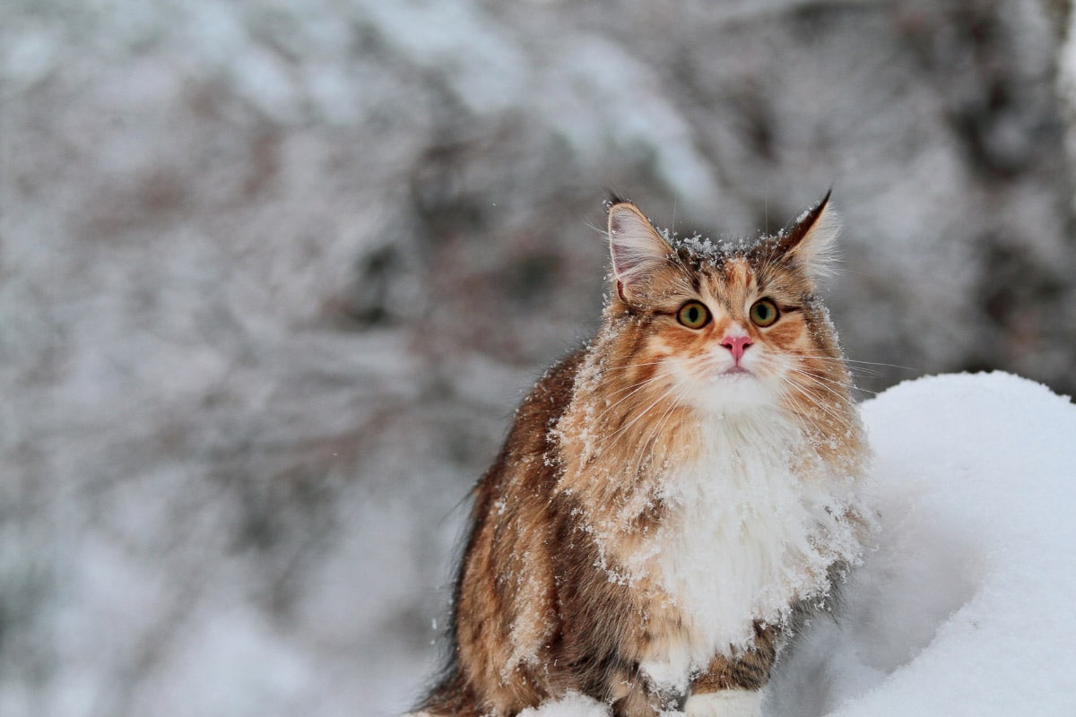 norwegian forest cat tabby in the snow
