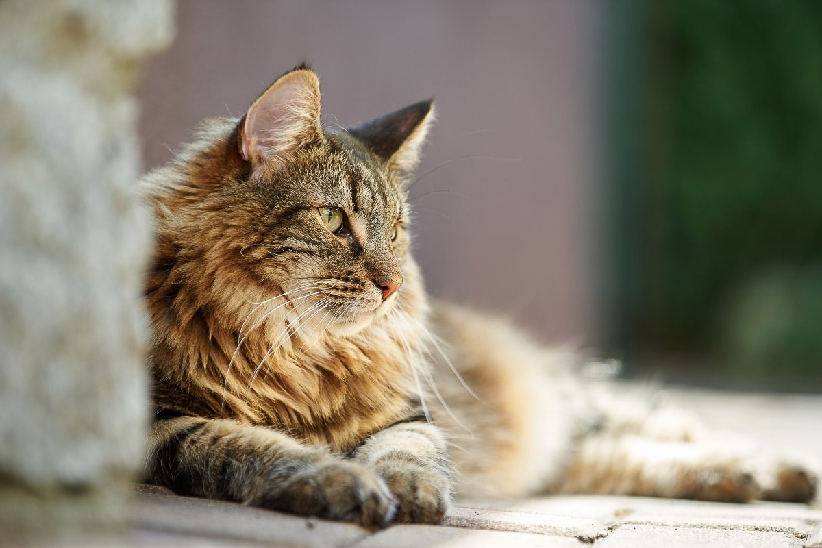 norwegian forest cat tabby looking away