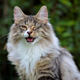 norwegian forest cat vs maine coon tabby winking