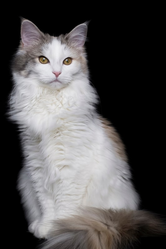 norwegian forest cat white sitting up