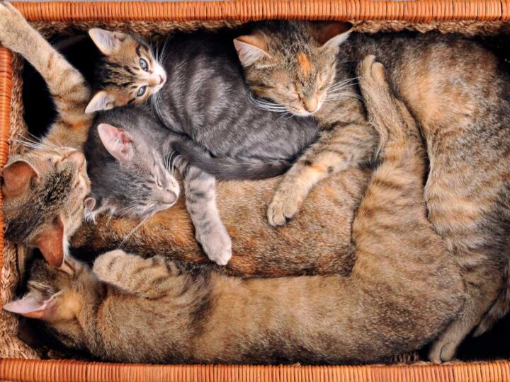 numerous cats asleep in a basket
