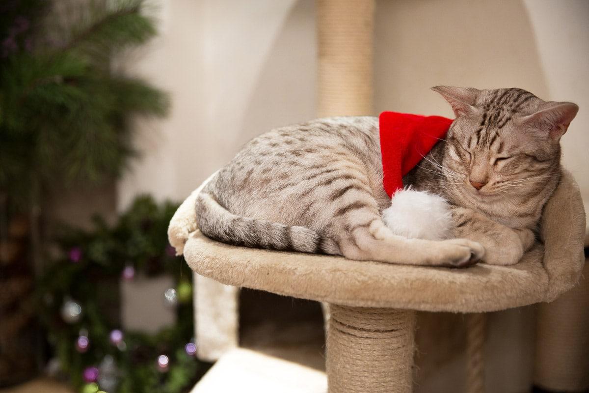 ocicat expensive cat breed