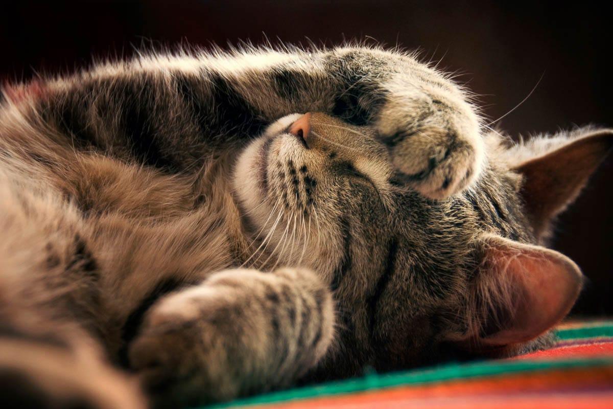 tabby cat asleep with paw over eye