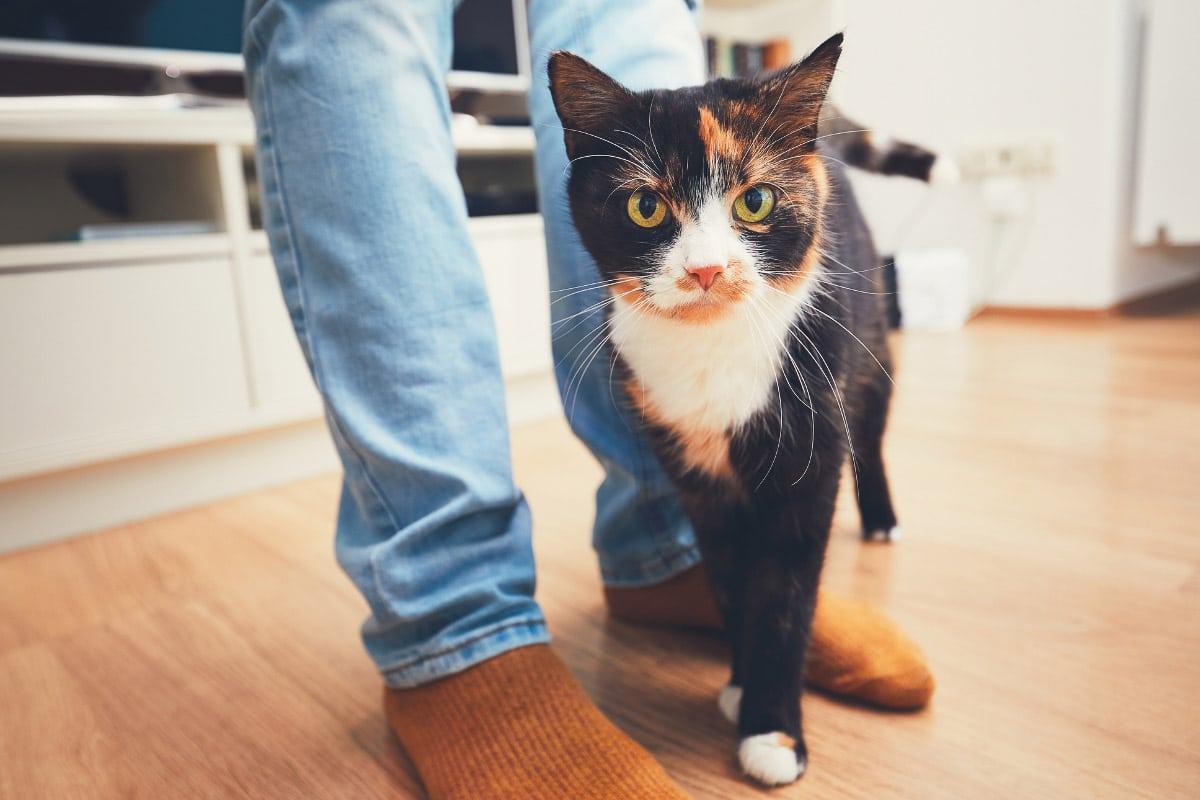 tabby cat with man's legs
