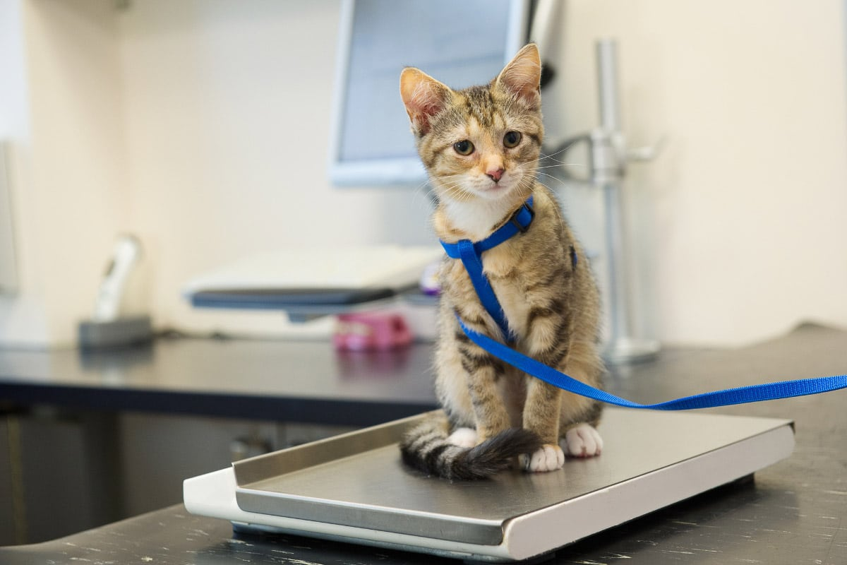 tabby kitten with leash on scales
