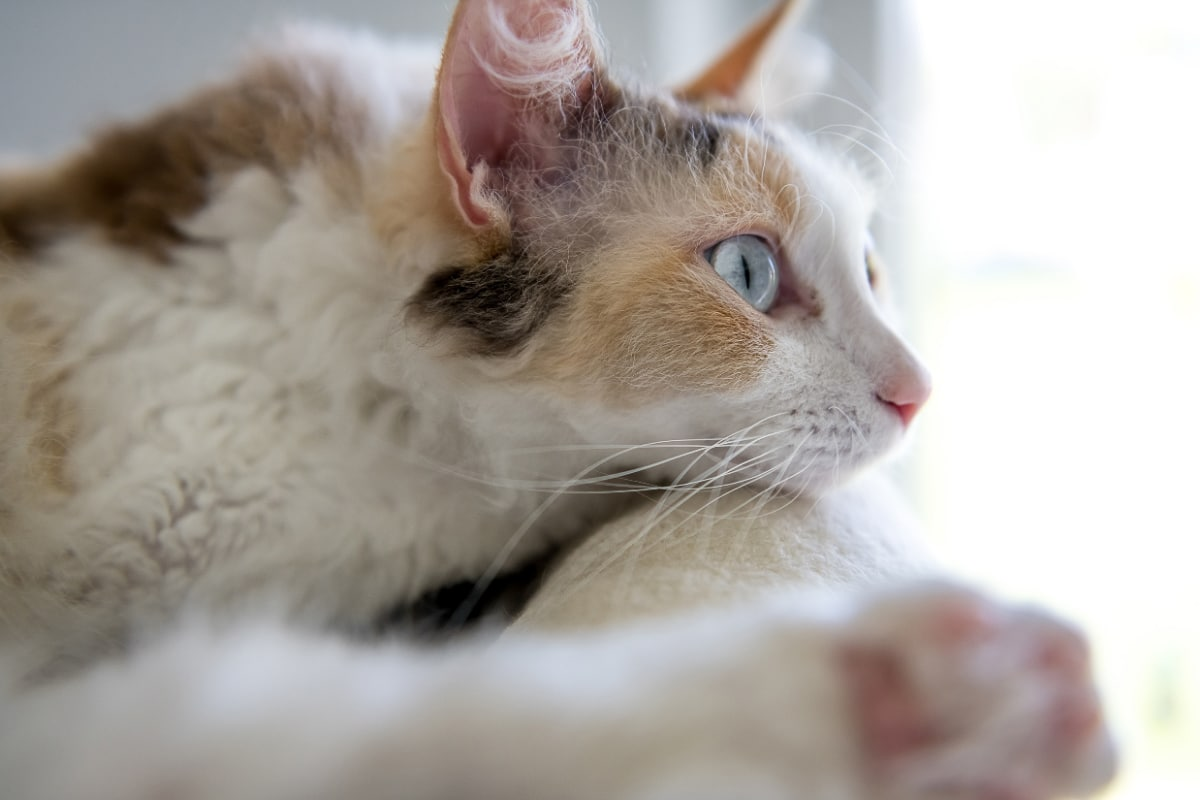 Laperm unique cat breeds with blue eyes