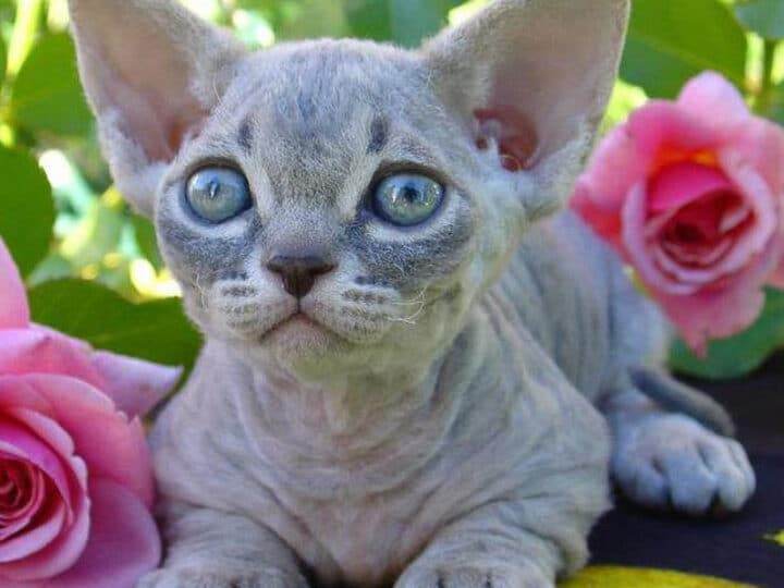 22 Rare Cat Breeds You Might Not Know