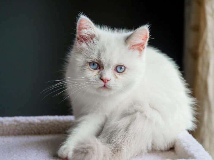 white Napoleon or Minuet Cat