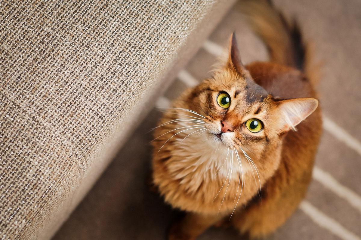 Somali Cat tabby ginger
