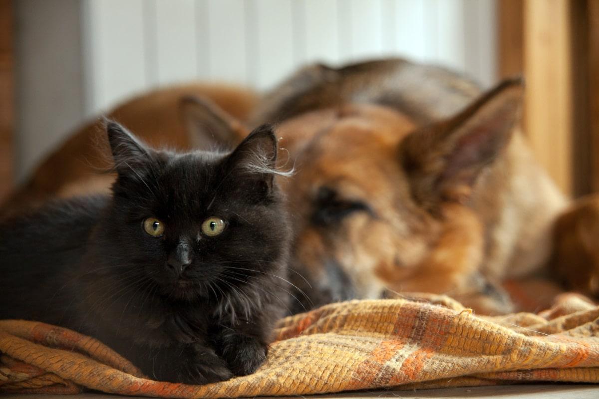 black cat and german shepherd dog lying together