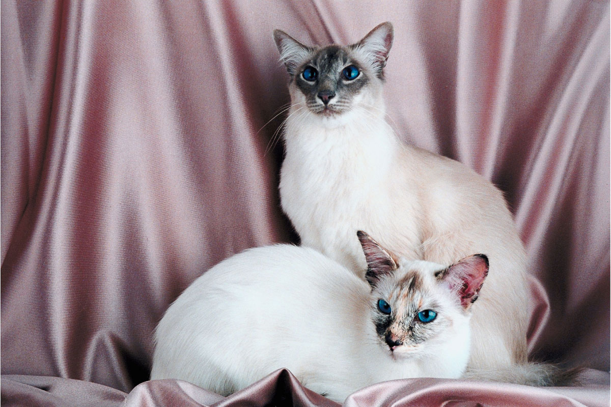 blue point and lilac point siamese cats