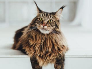 brown maine coon cat