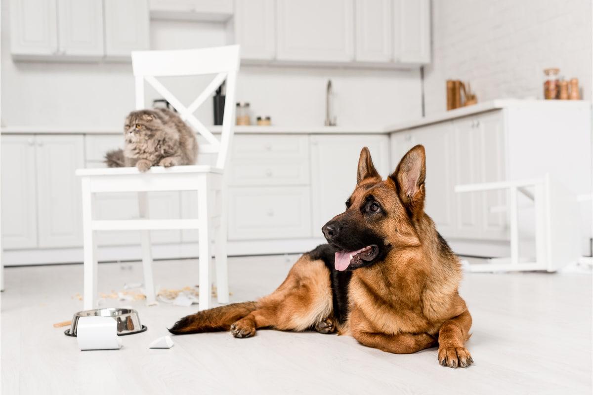 cat and german shepherd in kitchen