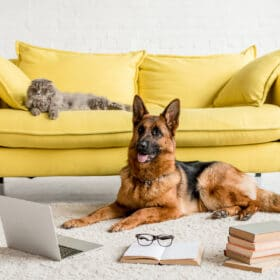 cat and germany shepherd in living room are german shepherds good with cats