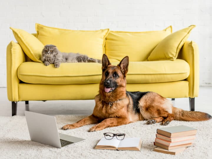 Are German Shepherds Good with Cats? What You Need to Know