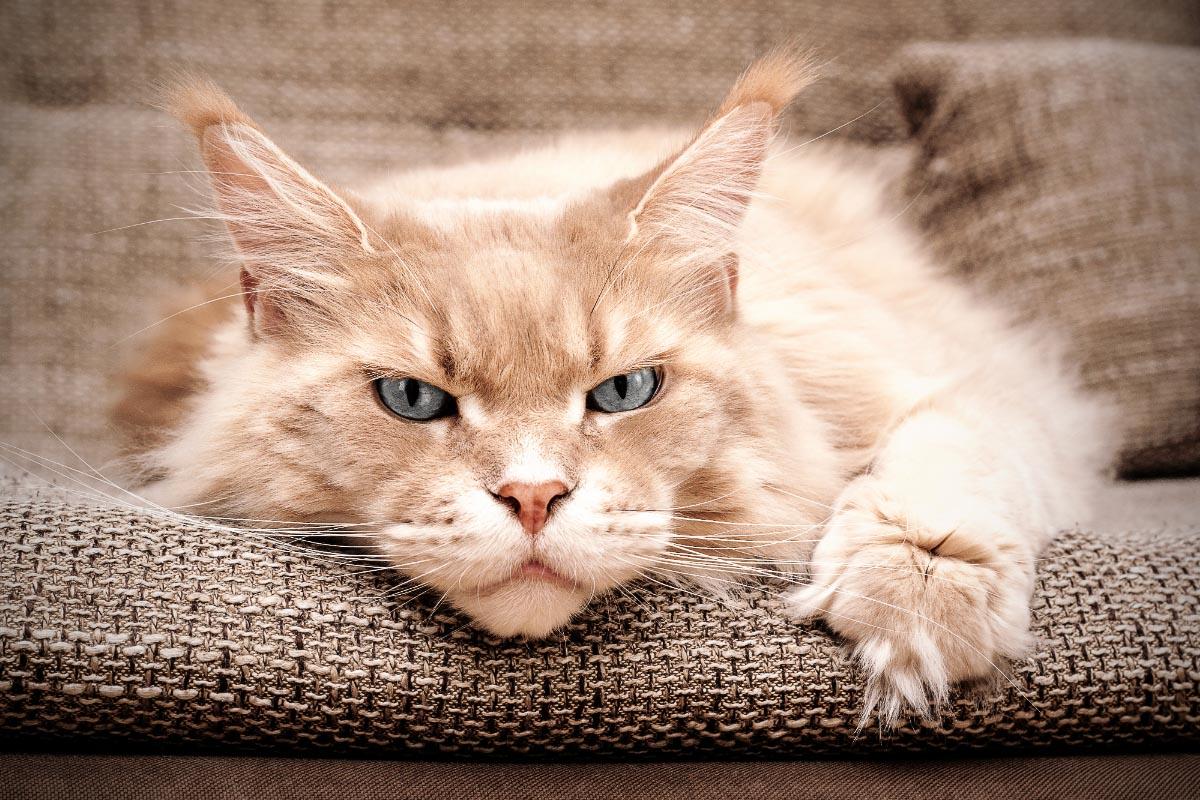 cream maine coon cat