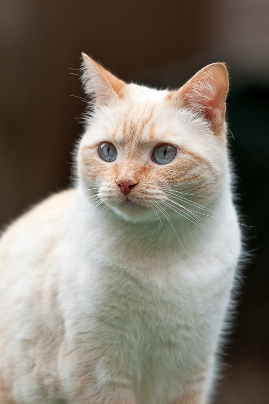 cream point siamese cat