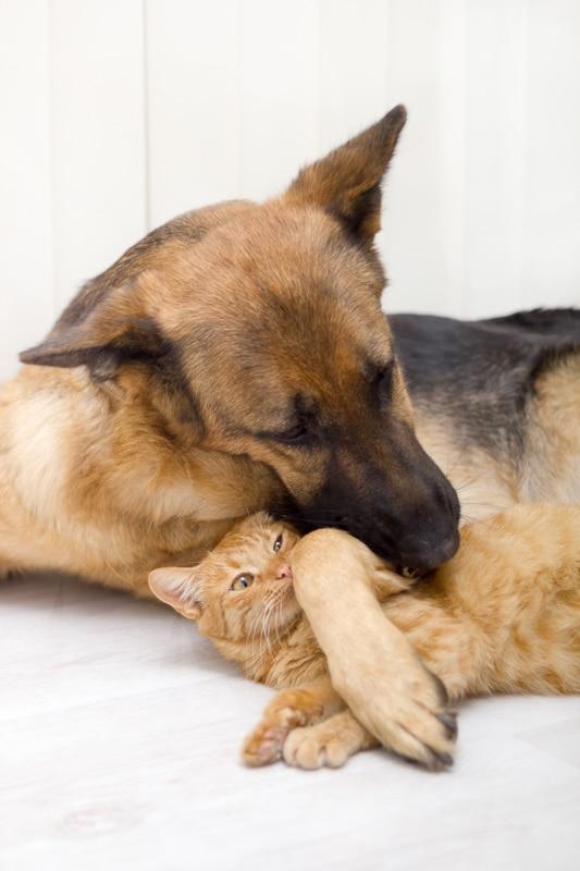 german shepherd cuddles ginger cat