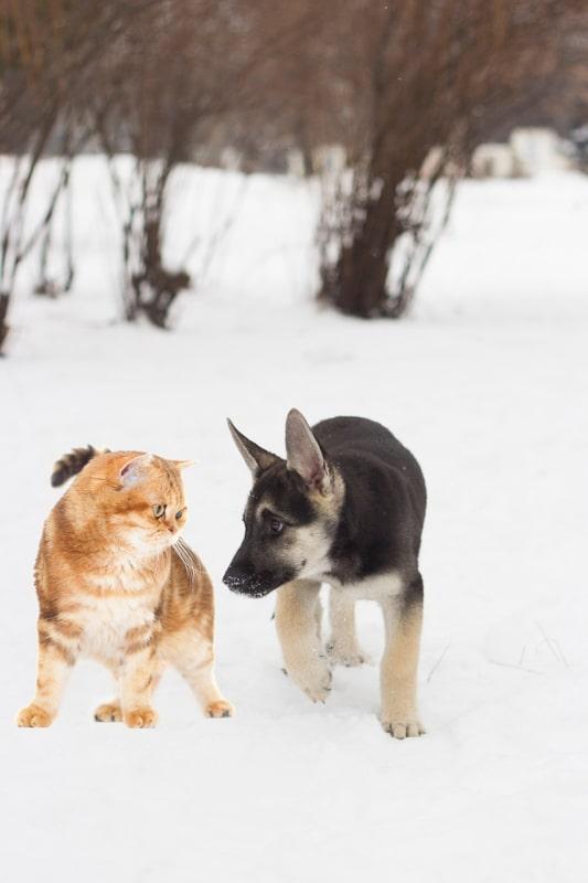 german shepherd dog with ginger cat