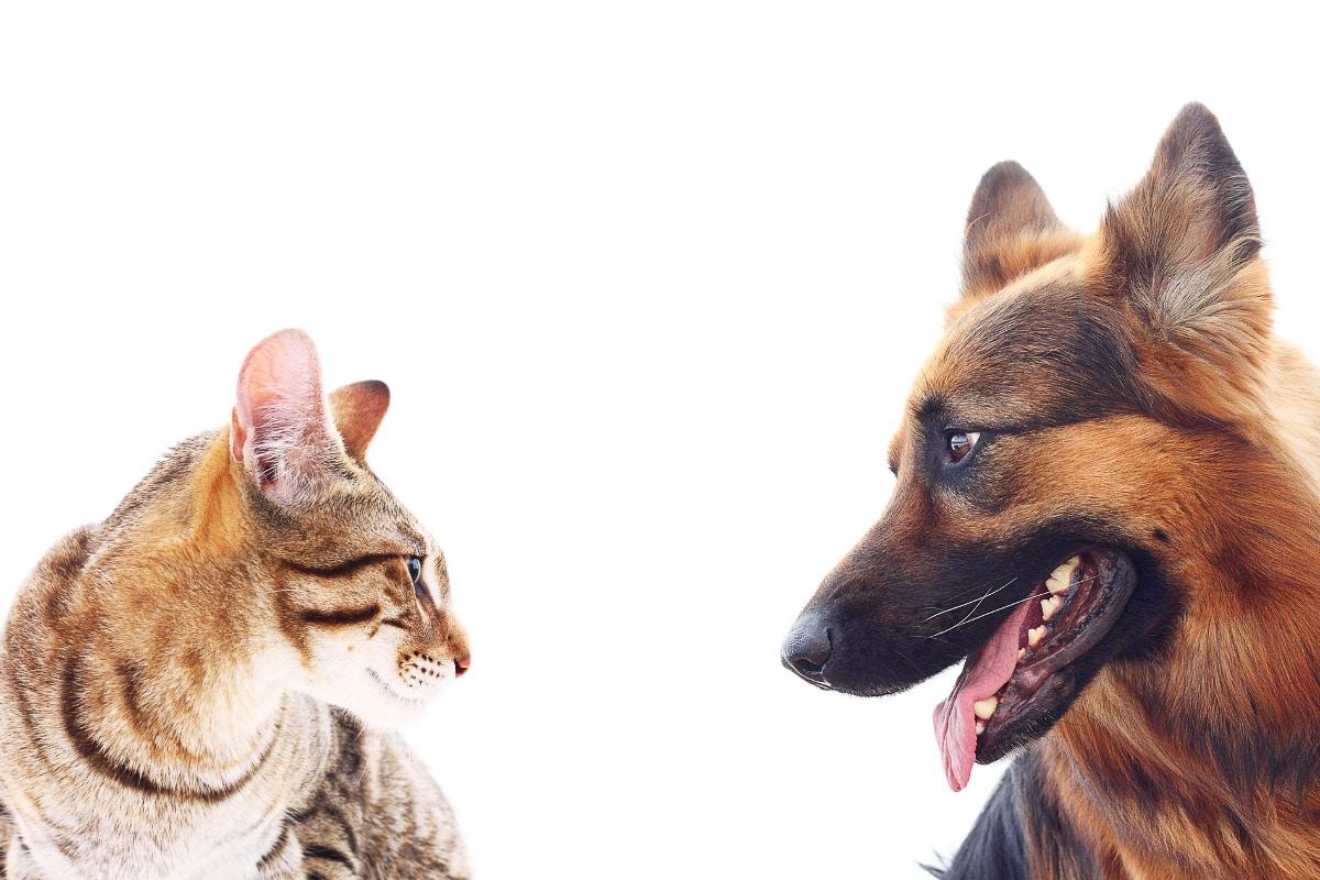 german shepherd looks at tabby cat