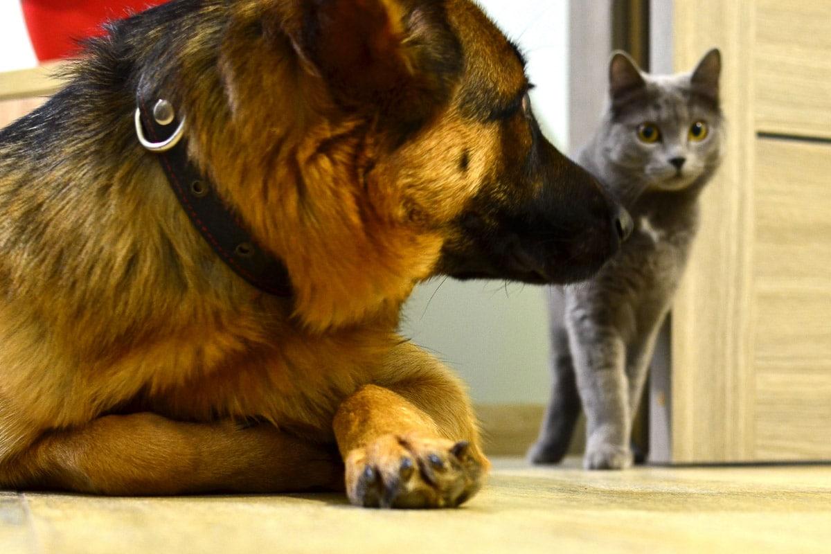 german shepherd with grey cat