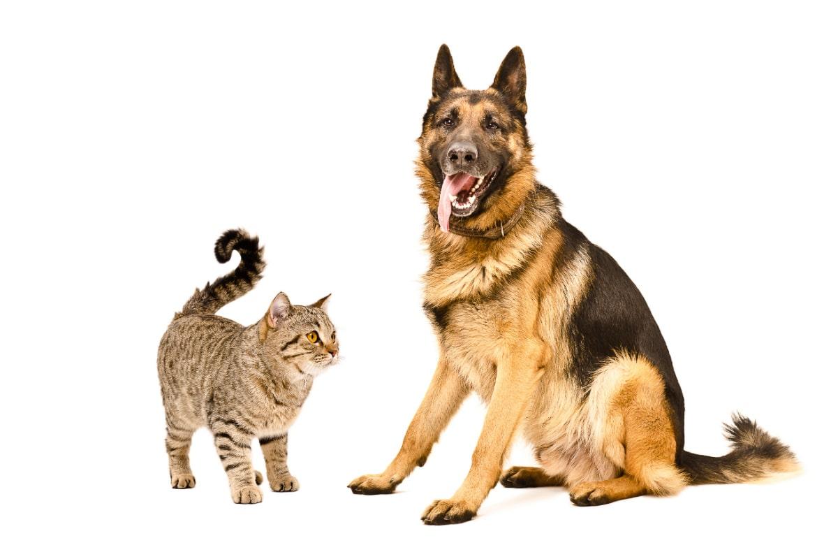 german shepherd with tabby cat