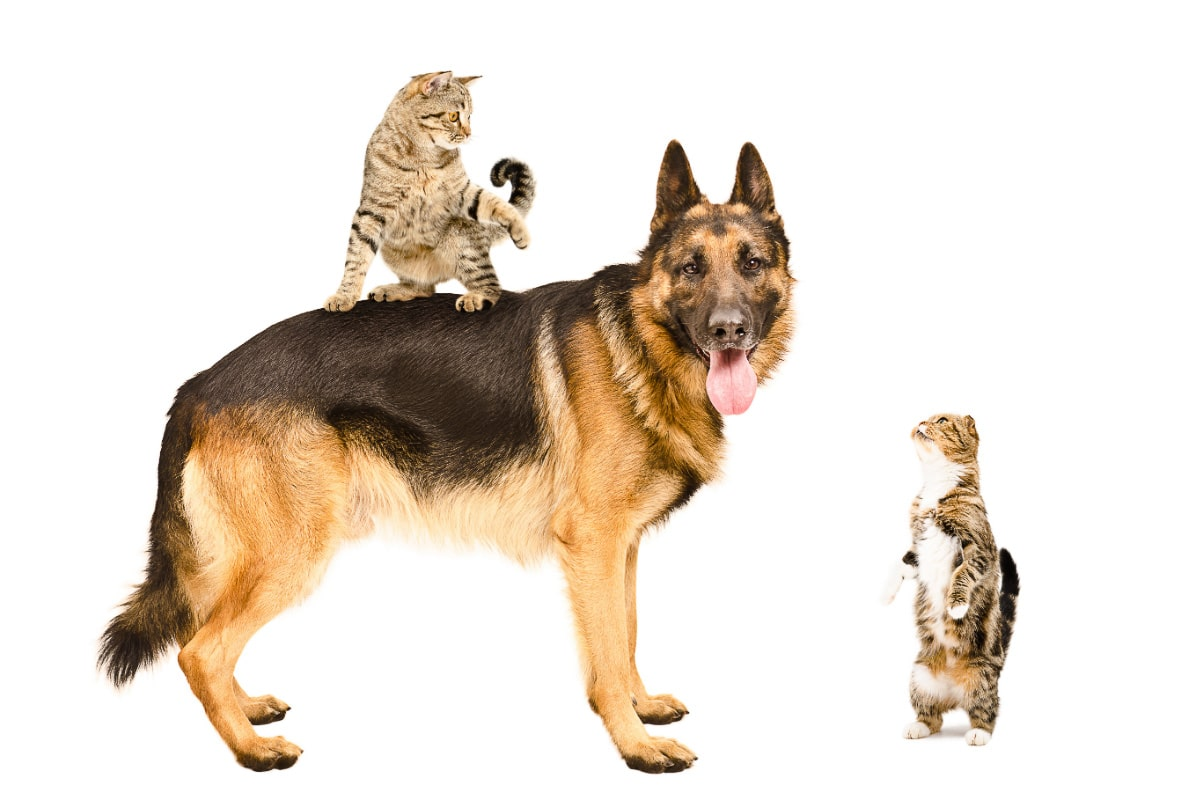 german shepherd with two tabby cats.png