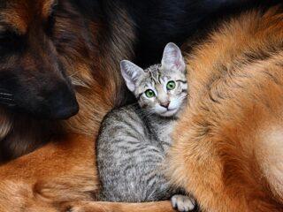 grey cat in dog fur