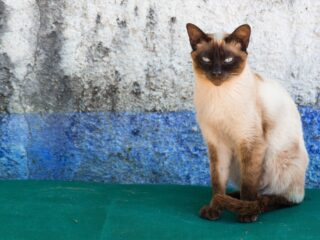old style siamese cat