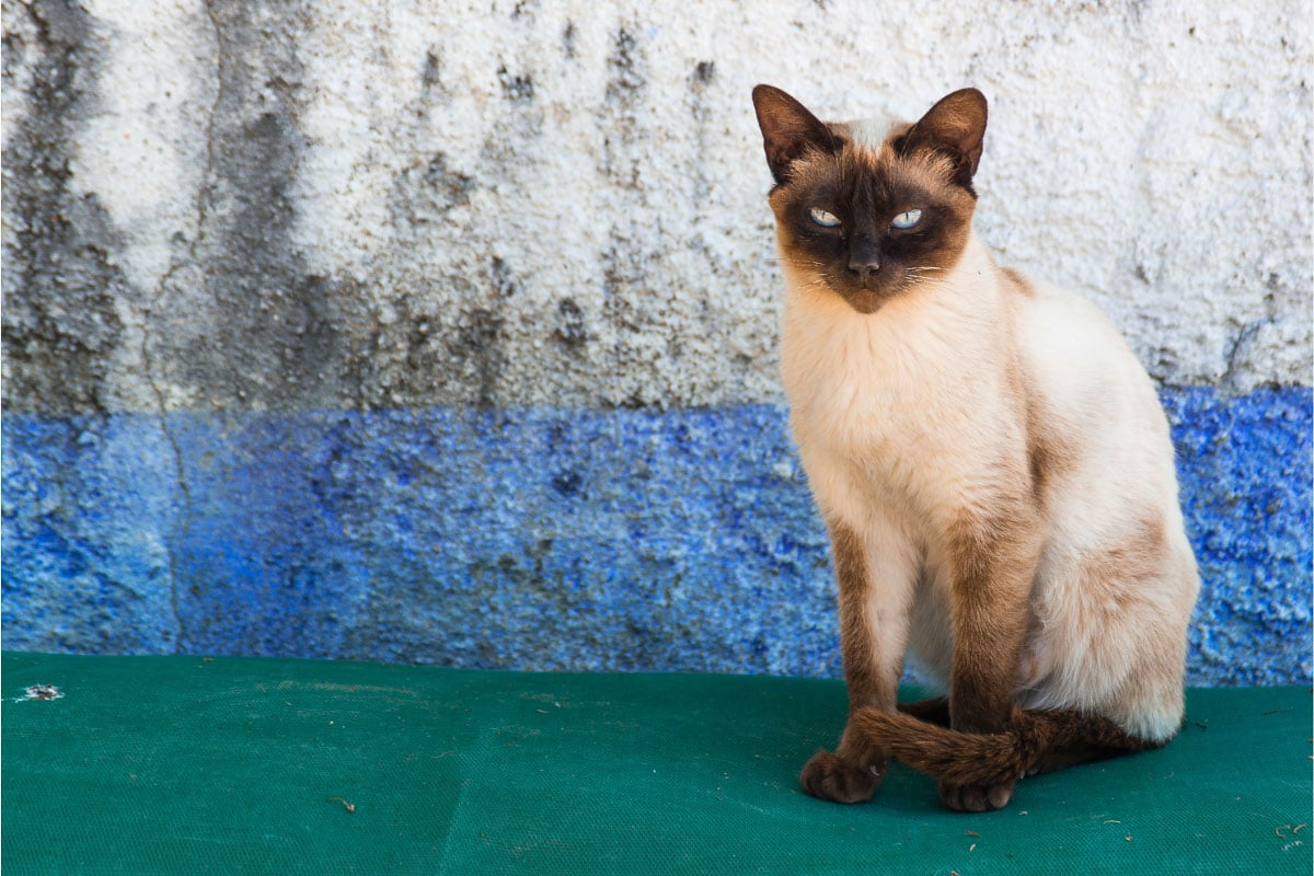 old style types of siamese cat
