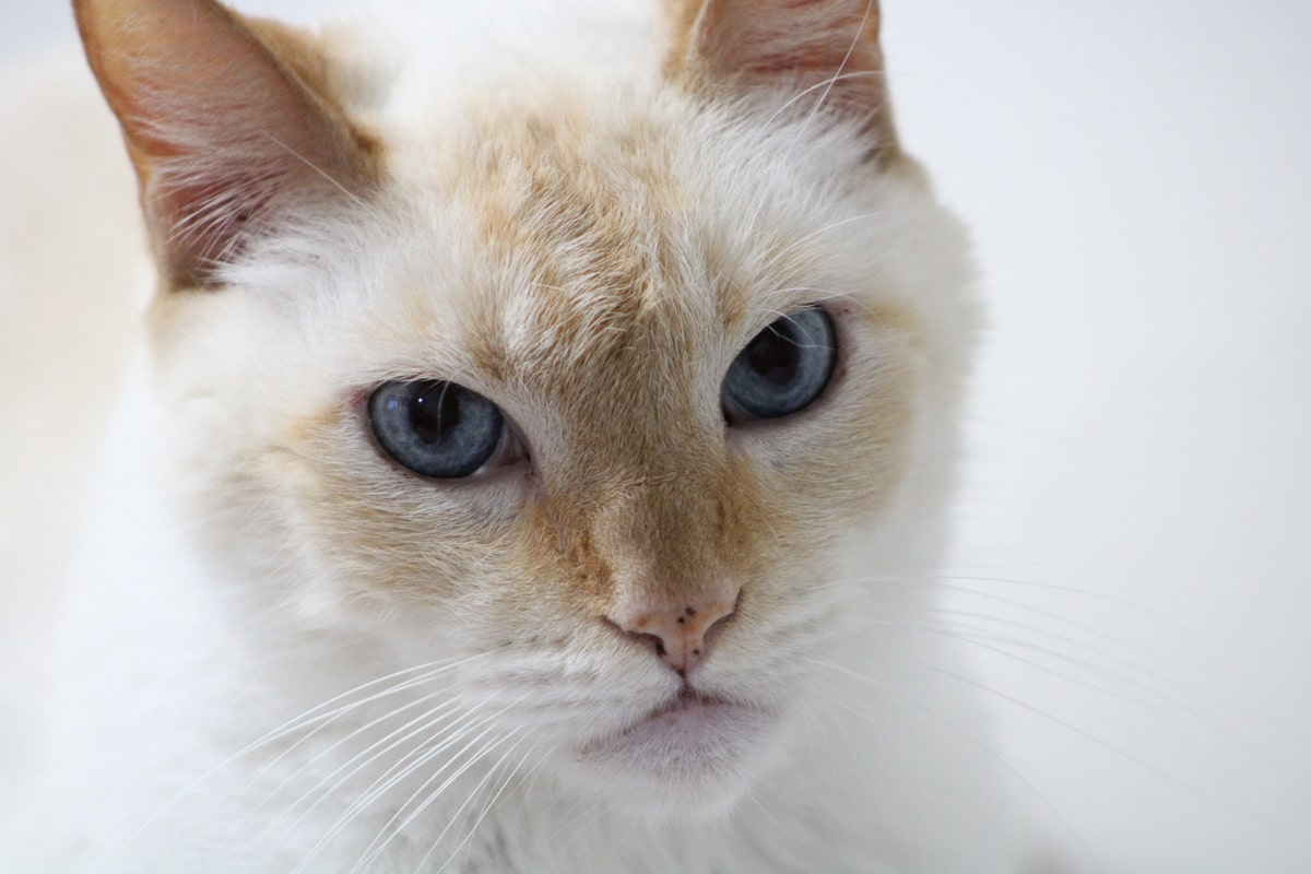 red point siamese cat