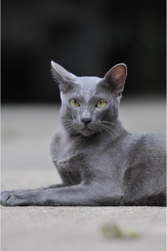 wedge grey siamese cat